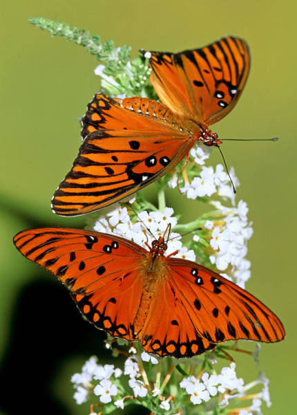 Duval County Photograph - Gulf Fritillary Butterflies by Millard H. Sharp