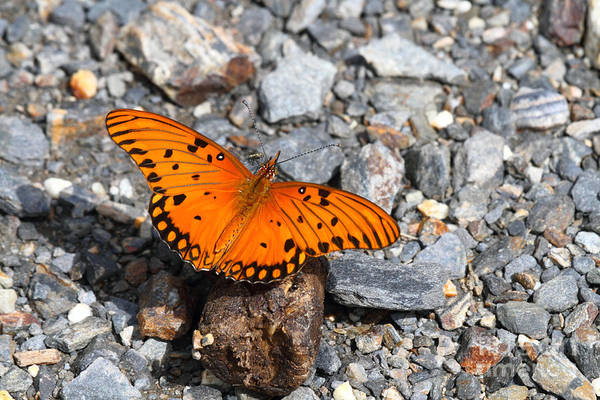 Agraulis Vanillae Photograph - Gulf Fritillary Butterfly by James Brunker