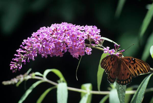Gulf Fritillary Wall Art - Photograph - Gulf Fritillary Butterfly by Sally Mccrae Kuyper/science Photo Library