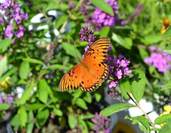 Passion Butterfly Photograph - Gulf Fritillary by Deena Stoddard