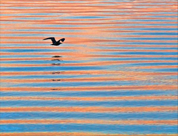 Photograph - Seagull At Sunrise On Penoboscot Bay by Ginger Wakem