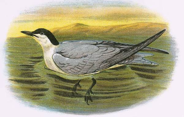 Ornithology Photograph - Gull Billed Tern by English School