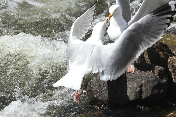 Photograph - Gull Greeting by John Meader