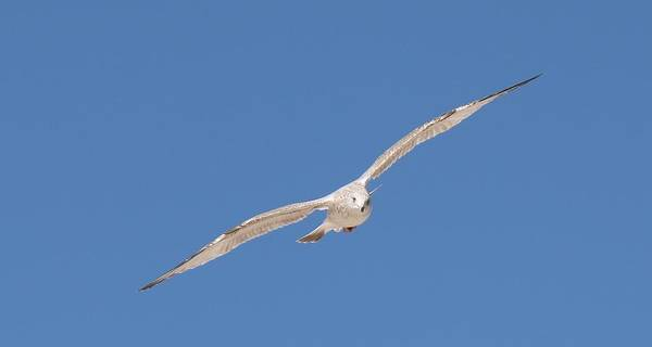 Gull In Flight - 2 Art Print
