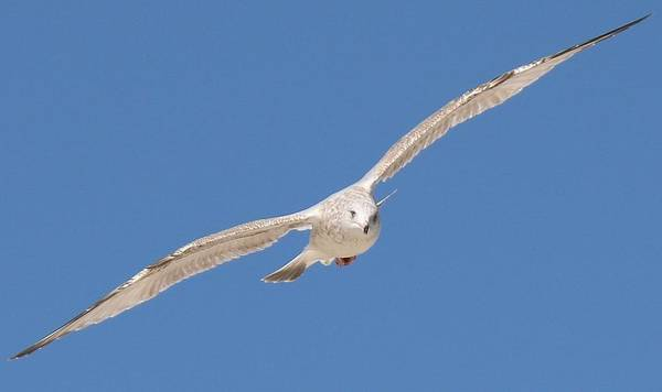 Gull In Flight  Art Print