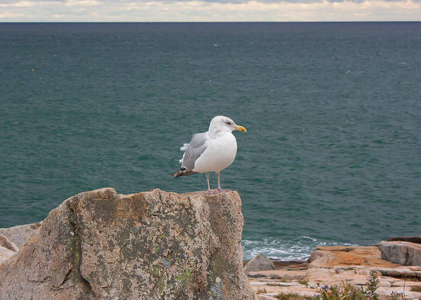 Photograph - Gull On Watch by Kirkodd Photography Of New England