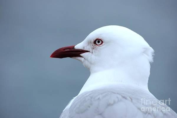 Photograph - Gull by Rachael Shaw