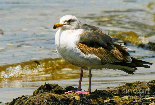 Photograph - Gull by Richard Lynch
