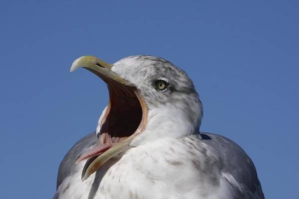 Squawk Photograph - Gull by Stuart Litoff