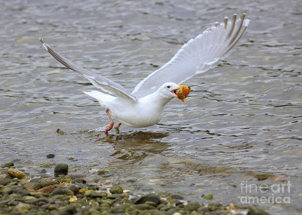 Wall Art - Photograph - Gull Takes Off With A Shell  by Louise Heusinkveld