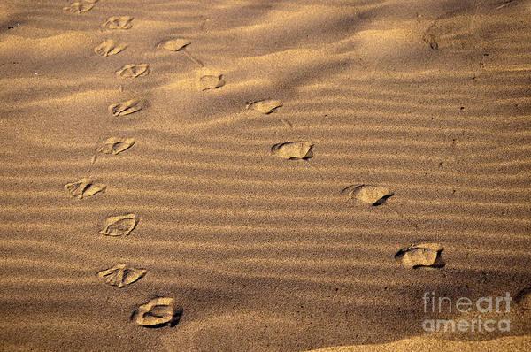 Photograph - Gull Tracks by Brenda Kean