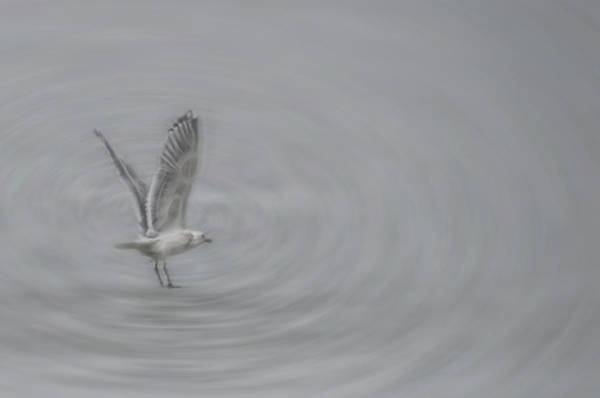 Photograph - Gull Vortex by Beth Sawickie