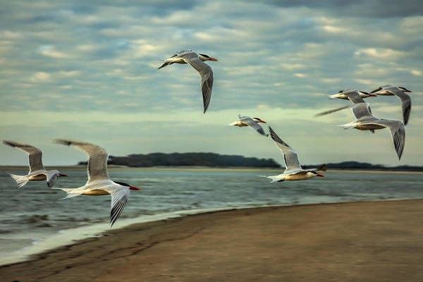Chroicocephalus Ridibundus Photograph - Gulls In Flight by Diana Powell