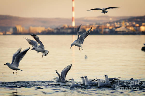Down Feather Photograph - Gulls by Jelena Jovanovic
