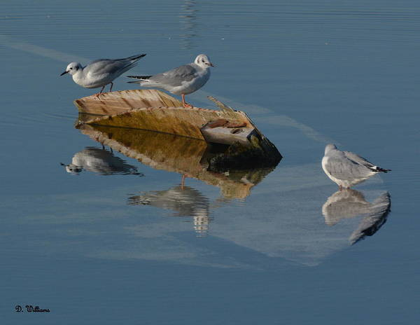 Photograph - Gulls On A Sunken Boat by Dan Williams