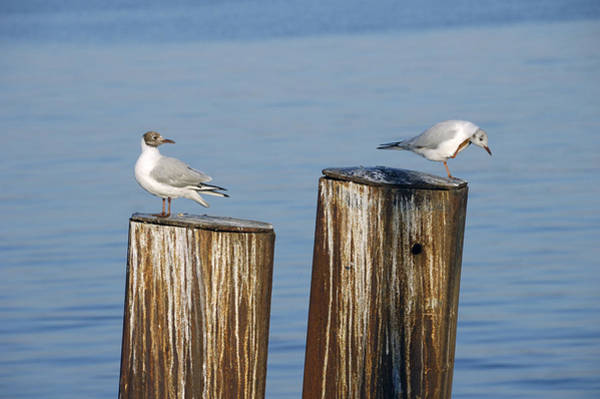 Photograph - Gulls Sitting On Pole by Matthias Hauser