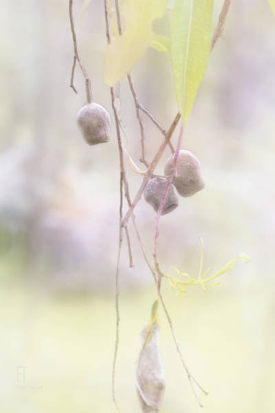Photograph - Gum Nuts by Elaine Teague