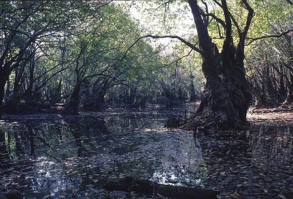 Photograph - Gum Swamp by Gerald Grow