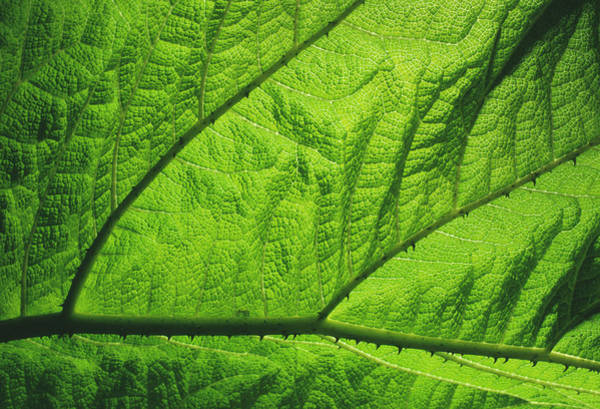 Leaf Venation Wall Art - Photograph - Gunnera Leaf by Dr Jeremy Burgess/science Photo Library