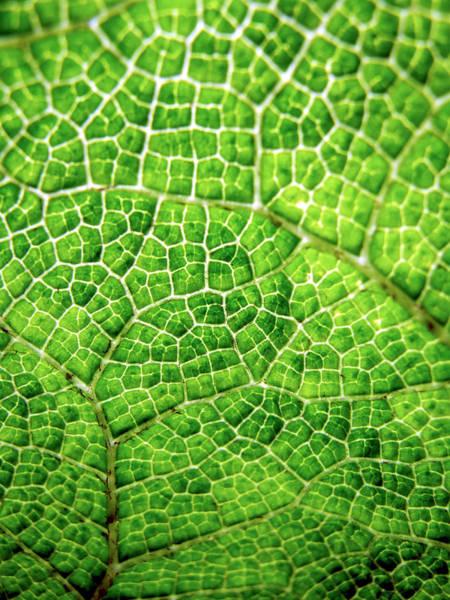 Leaf Venation Wall Art - Photograph - Gunnera Manicata Leaf by Ian Gowland/science Photo Library