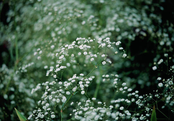 Bristol Photograph - Gypsophila Paniculata Bristol Fairy. by Sam K Tran/science Photo Library