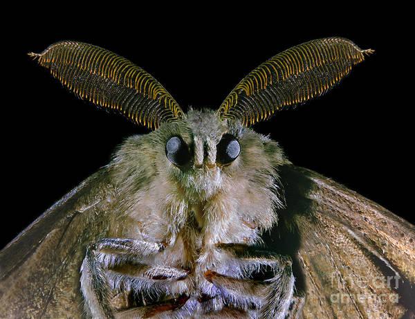 Photograph - Gypsy Moth by Darwin Dale