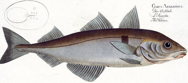Angler Wall Art - Painting - Haddock by Andreas Ludwig Kruger