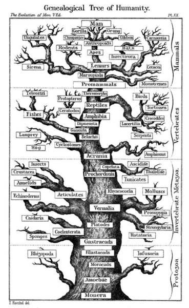 Evolution Photograph - Haeckel's Scheme Of Evolution by Universal History Archive/uig