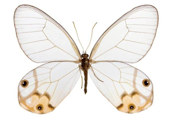 Thru Photograph - Haetera Macleannania Butterfly by Pascal Goetgheluck/science Photo Library