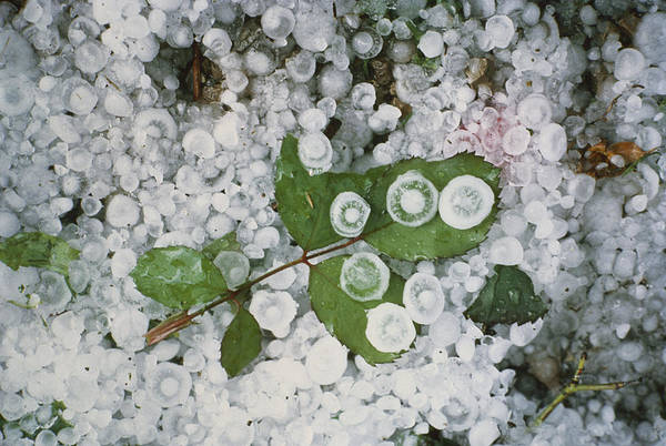Photograph - Hailstones And Leaves by Perennou Nuridsany