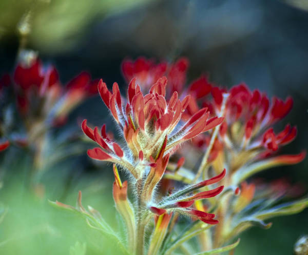 Desert Paintbrush Photograph - Hair Of The Paintbrush by Eric Rundle