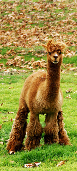 Vicugna Pacos Digital Art - Hairy Brown Gumby Aka Brown Alpaca by Barbara Snyder