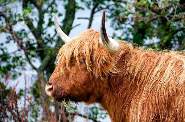 Photograph - Hairy Coo by Trever Miller