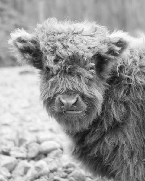 Wall Art - Photograph - Hairy Cow Baby by Stephanie McDowell