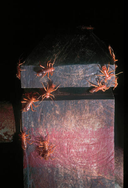 Hairy Photograph - Hairy Earwigs by Louise Murray/science Photo Library
