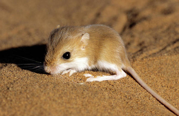 Hairy Photograph - Hairy-footed Gerbil by Louise Murray/science Photo Library