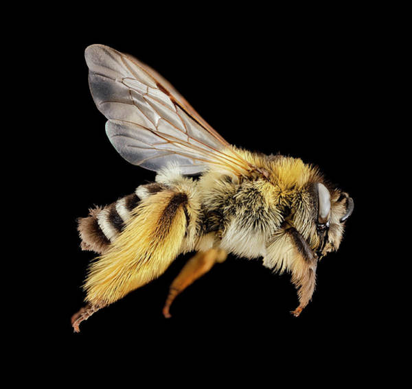 Image Stacking Photograph - Hairy-footed Hairy-legged Bee by Us Geological Survey