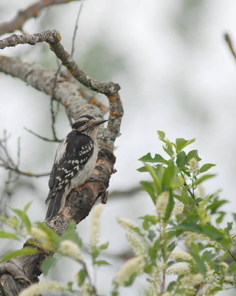 Photograph - Hairy Woodpecker by Jan Piet