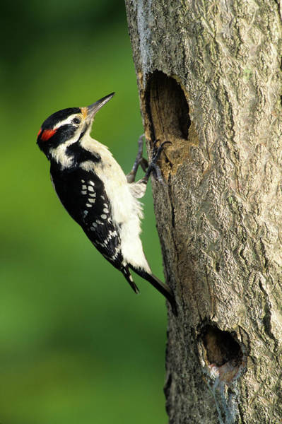 Cavity Wall Art - Photograph - Hairy Woodpecker (picoides Villosus by Richard and Susan Day