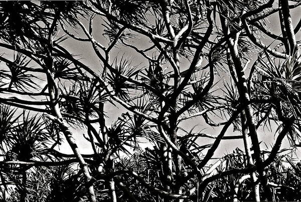 Photograph - Hala Trees by Kim Pippinger