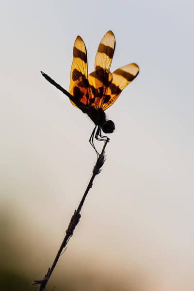 Photograph - Halloween Pennant Dragonfly Glow by Ed Gleichman