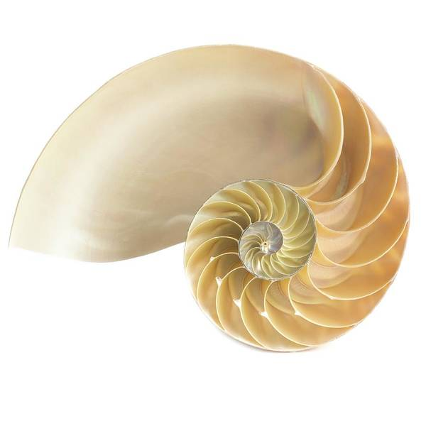 Mollusca Photograph - Halved Chambered Nautilus Shell by Science Photo Library
