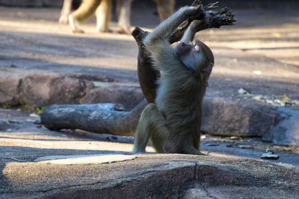 Photograph - Hamadryas Baboon Resting by Chris Flees
