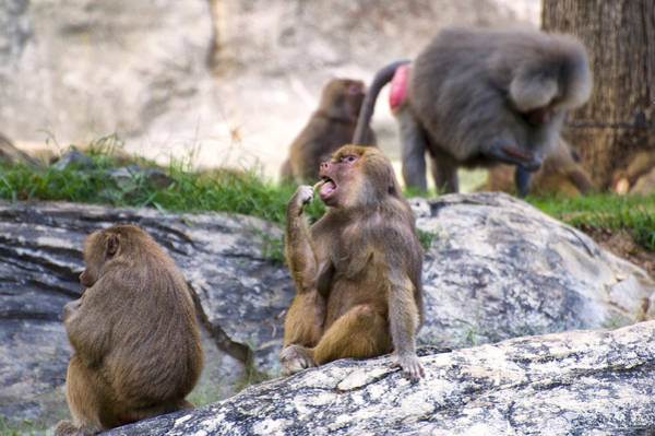 Digital Art - Hamadryas Baboons Continue To Eat by Chris Flees