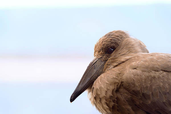 Wall Art - Photograph - Hamerkop by Dr P. Marazzi/science Photo Library