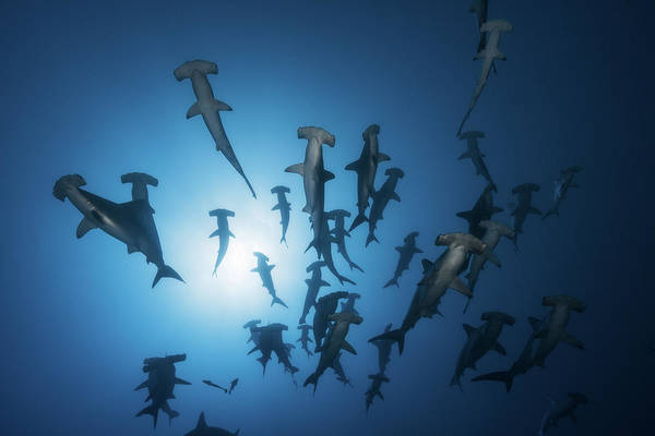 Wall Art - Photograph - Hammerhead Shark - Underwater Photography by Barathieu Gabriel