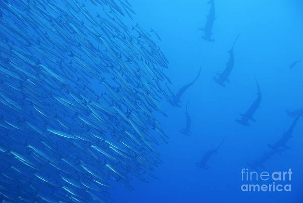 Hammerhead Photograph - Hammerhead Sharks By School Of Fishes by Sami Sarkis