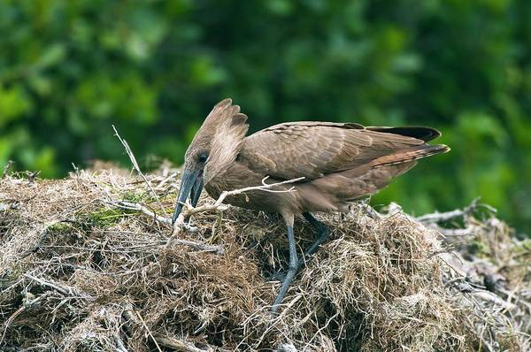 Hammerhead Photograph - Hammerkop Building A Nest by Peter Chadwick/science Photo Library