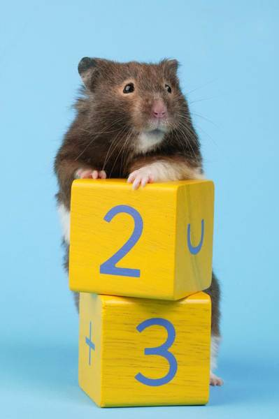 Hamster Photograph - Hamster 23 by MGL Meiklejohn Graphics Licensing