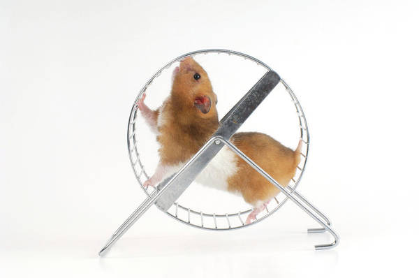 Hamster Photograph - Hamster by Bildagentur-online/o.diez/science Photo Library